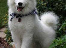 كلب ذكر  من نوع فصيله نادره مع كامل اوراقه