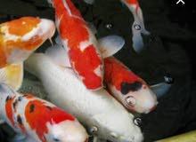 مطلوب  أسماك كوي ألوان مميزة