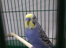 طائر بادجي في حاله ممتازه +الطعام