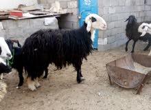 خروف مشروط الفحوليه وصاحي  مكاني الزبير