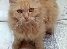 قطة حامل هتولد بعد أسبوعين ونصف للبيع