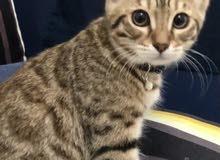 قطه اليفه النوع bungle cat صغير العمر