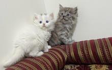 قطط للبيع شيرازي اصل الي يبي يدخل خاص