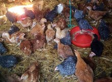 بيع دجاج الحبشي بالجملة والتقسيط
