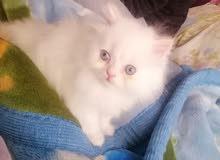 قطط همالايا مكس بيرشن.. شيرازي