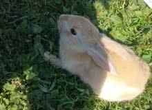 ارانب للبيع معروض