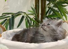 قطط اناث بيرشن