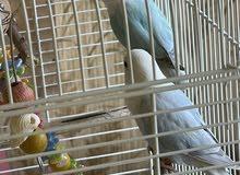 love bird opline