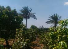 مزرعة مانجو وسكن
