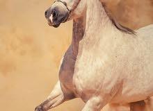 مطلوب حصان جمال او فرس