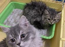 قطتين من اب شيرازي مون فيس وام هملايا باندا