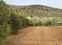 قطعة ارض مشجرة بالزيتون تصنيف سكن ب -جرش-سوف