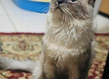 Himalayan Cat for Breeding