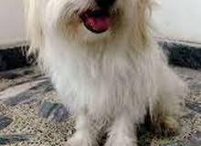 انا مستعد لتبني اي كلب امريكي لولوفرنسي هاسكي جيرمن