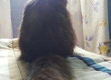 قطه شيرازيه للبيع 40 ريال