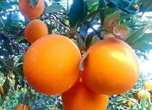 مزرعه 100 فدان منتجه موالح للبيع