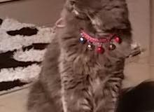 قطة شيرازي العمر سنة ونصف
