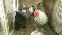 دجاج براهمة للبيع