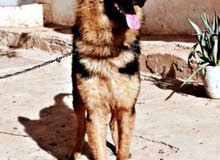 جيرمن شيبرد German Shepherd