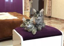 قطط في قمة الجمال والروعة من نوع شيرازي أصل بيور