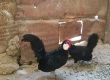 دجاج  محلق الماني