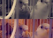 طيور الحب بصحه ممتازه  البيع مع القفص