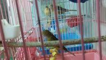 طيور كنار
