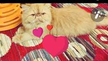 بيع قطة بيرشين اصول عااية عمرها عام ونصف