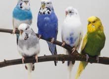 طيور حب انجليزي اوربي اصليات احجام واللوان متعدده