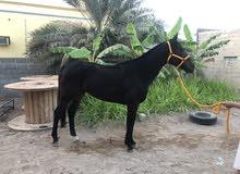 حصان  انجليزي( مخصي )