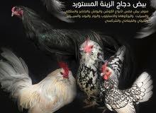 بيض نوادر دجاج الزينة المميز