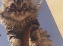 قطة شيرازية