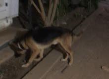 كلب جيرمن شيبرد عمر 7 شهور.