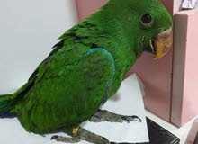 Eclectus Green 3 months old
