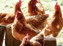 1year pure egg layr chicken