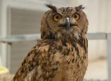 owl for Sale بومة