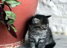 قطط شيرازي مكس شانشيلا