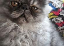 hamalaya cat