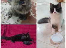 3 قطط شيرازية للبيع بسعر مغري