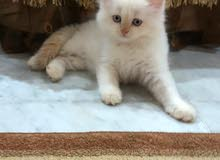 Rare Himalayan kitten (with orange ears) available for sale