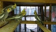 طيور كوكتيل  الزوج 75 الف