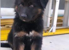 كلب جيرمن لونك هير شولاين بلاك فيس