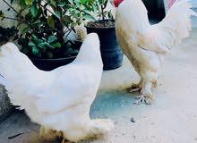 دجاج ابراهاما ديج ودجاجة
