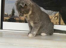 قطط صغيرة كتنز سكوتش فولد مكس