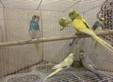 طيور حب البادجي للبيع