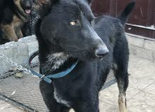 كلب بوليس الاب جيرمان شيبرد بلاك باك والام هاسكي (بيووور)