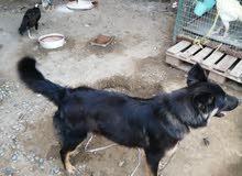 كلب لبيع والا لبدل