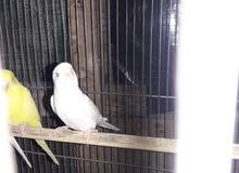 زوجين طيور حب عيون حمر للبيع ب35 الف سعر الكل