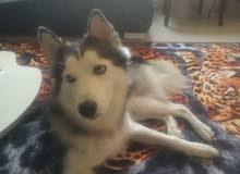 كلبة هاسكى عمر سنة وشهرين بيتى لم تخرج من قبل كاملة التطعيمات