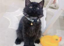 قطه شيرازيه، تركيه